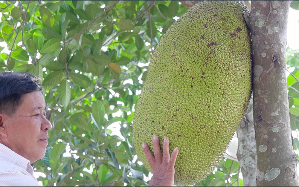 Giống mít kỳ lạ ở miền Tây, quả nặng 40 kg, múi to khổng lồ