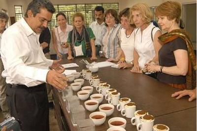 Loại trà đặc biệt 25 triệu/kg khiến đại gia không tiếc tiền để mua