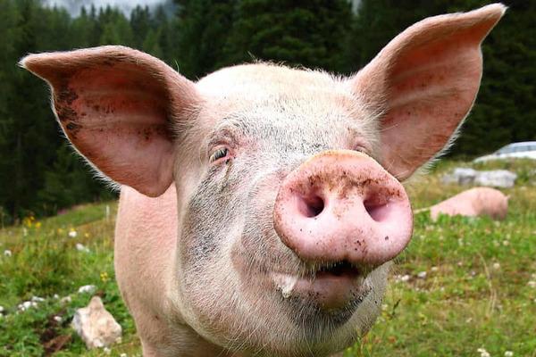 Bị bắt vì mang lậu tinh dịch lợn trong chai dầu gội đầu