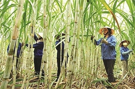 Vietnamese sugar industry is suffering from inventory losses