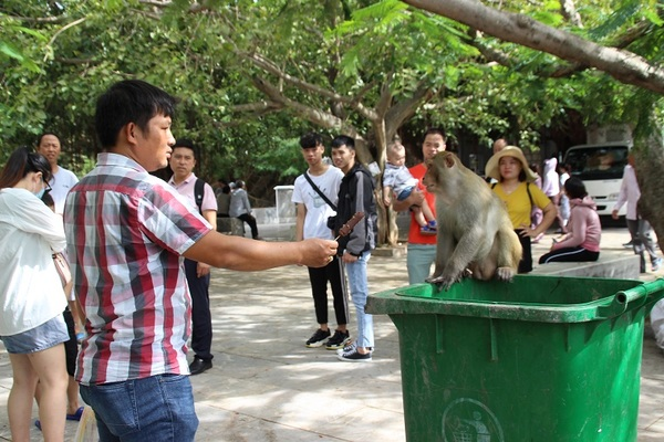 Khỉ đầu chó, mặt đỏ tràn xuống chùa Linh Ứng, nhiều du khách bị tấn công