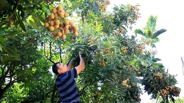 vietnam travel,vietnam arts,Hung yen longan,longan export,vietnam fruit,fruit export,vietnam economy,Vietnam business news,business news