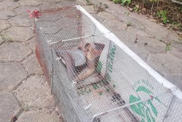 Cận cảnh bẫy rắn hổ mang chúa dài hàng mét, từng tấn công người đi đường tại khu đô thị Hà Nội