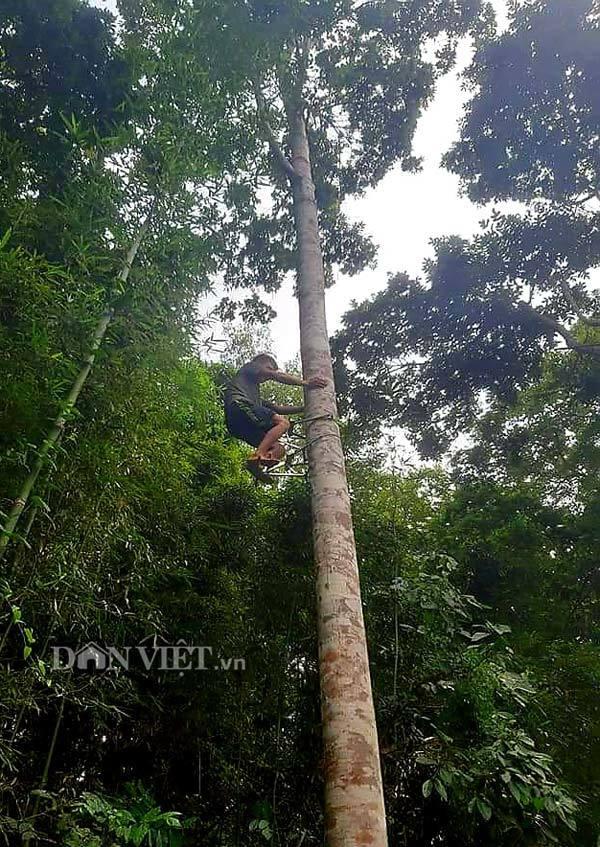 Những cây trám khổng lồ ở Lạng Sơn vào mùa hái cả tạ quả ngon