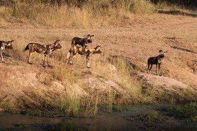 Bầy chó hoang bất lực nhìn cá sấu cướp mồi ngon