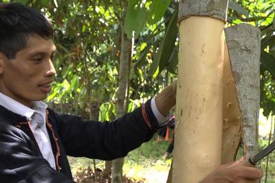 Trồng cây lấy vỏ cay, chăm dễ mà thu tiền tỷ mỗi năm