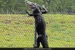 Cá sấu trèo rào như người, đột nhập căn cứ Mỹ