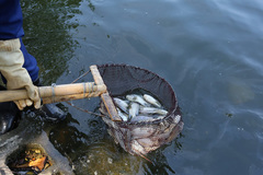 Mass fish deaths in Hanoi's Truc Bach Lake