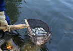 Mass fish deaths in Hanoi's Truc Bach Lake