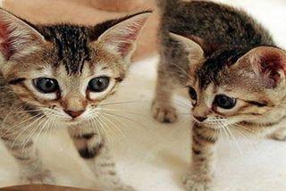 Hơn 800 triệu cho một con mèo nhân bản tại Trung Quốc