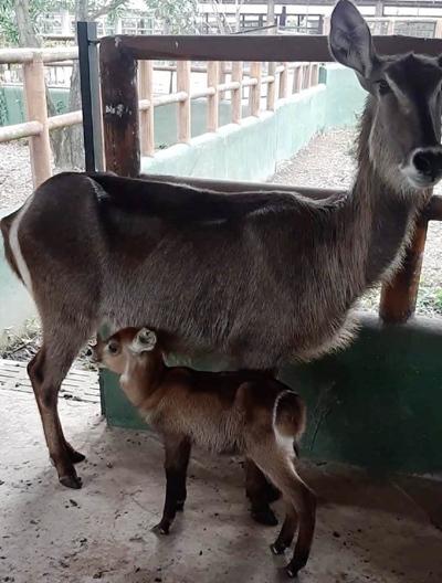Sở thú Vườn Xoài - Đồng Nai đón nhiều thú con chào đời