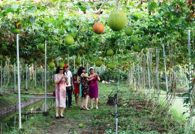 Trips to southern orchards,Lai Thieu Orchard,Cái Mơn Orchard Village,craft villages,travel news,Vietnam guide,Vietnam tour,travelling to Vietnam,Vietnam travelling,Vietnam travel,vn news,vietnamnet news,vietnamnet bridge,Vietnam breaking news,Vietnamese n
