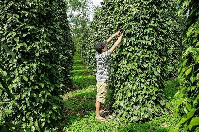 VN pepper sector urged to renew growth model