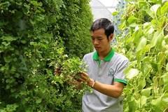 Trồng rau khí canh thu cả tấn rau sạch mỗi tháng ở Sài Gòn