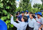 Vietnamese pepper farmers hit by huge losses