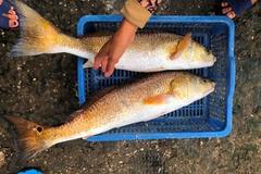 Quảng Bình: Bắt được 2 con cá lạ trên sông Loan, giá hơn 1 tỷ