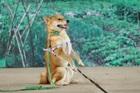 NSX lên tiếng chuyện quốc khuyển Nhật đóng vai 'cậu Vàng' trong phim Lão Hạc