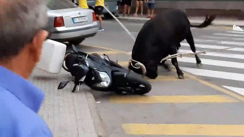 bò điên,bò húc,bò húc xe