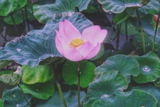 Đầm sen nở rộ giữa trời thu ở Ninh Bình khiến giới trẻ thích mê