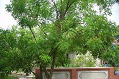 Trồng cây gì trước nhà để gia chủ may mắn, phát tài