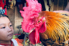 Kỳ lạ con 'gà 9 cựa' biến đổi giới tính ở Sơn La với lời đồn 'ma ám'