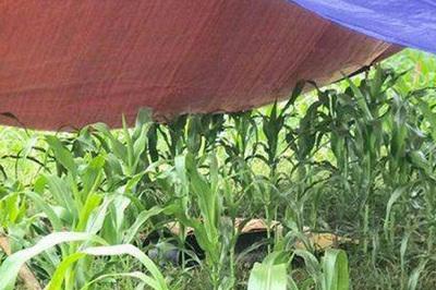 Người phụ nữ tử vong bất thường giữa cánh đồng ngô ở Hòa Bình