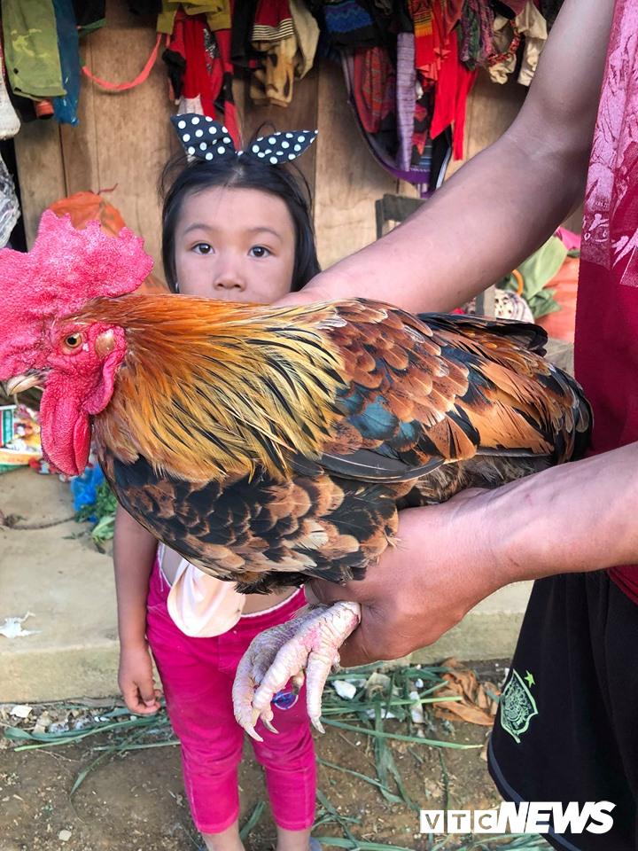 Gà mái chuyển giới thành gà trống: Chuyện khó tin ở Sơn La
