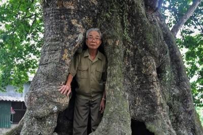 5 cây thị cổ thụ gần 700 năm tuổi, nơi trú ẩn của bộ đội thời chiến