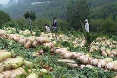 Trồng củ cải khổng lồ to như bắp chân, nặng 3-4kg bán cho Hàn Quốc