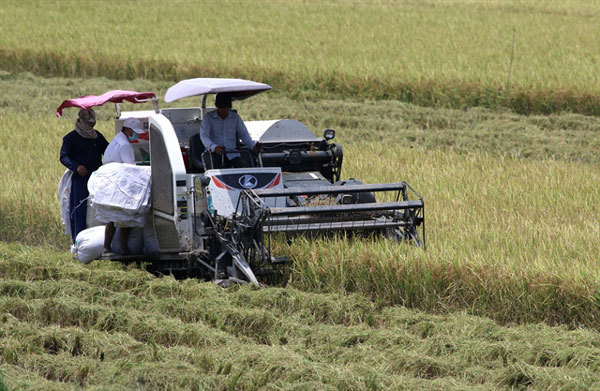 Mekong Delta summer – autumn rice output to go up slightly