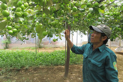 Nets on jujube orchards protect plants, reduce pesticide use