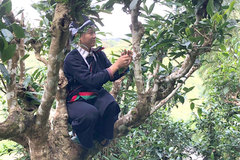 Ha Giang's ancient tea trees get top recognition and protection