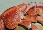 Đầu bếp dạy hấp cua dừa khổng lồ nặng hơn 4 kg