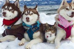 Đàn husky tự nguyện làm vệ sĩ cho con mèo cái