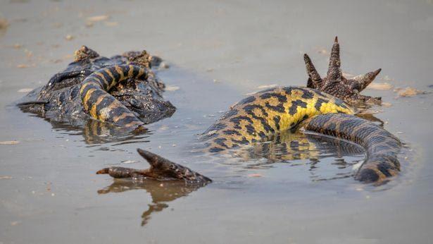 Xem trăn khủng đại chiến với cá sấu dưới nước