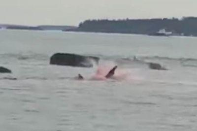 Du khách hoảng sợ chứng kiến cá mập trắng tấn công, nhuộm đỏ nước biển