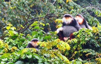 Red-shanked douc langurs reproduce in captivity