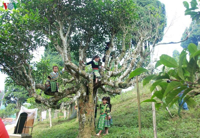 Cảnh báo cho người Trung Quốc thuê cây chè cổ thụ ở Hà Giang