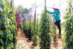 Vietnamese pepper farmers struggle to survive