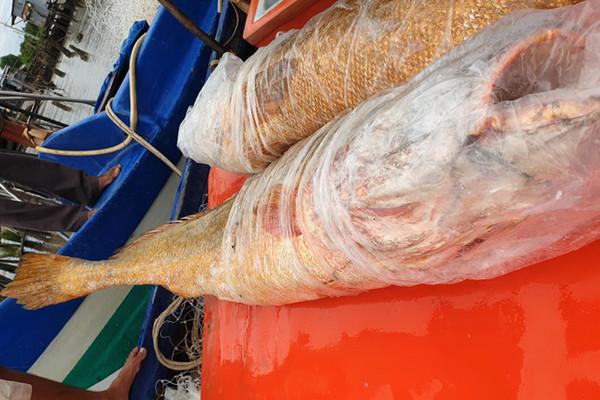 Cặp cá sủ vàng lớn nhất từ trước đến nay dính lưới ngư dân Cà Mau