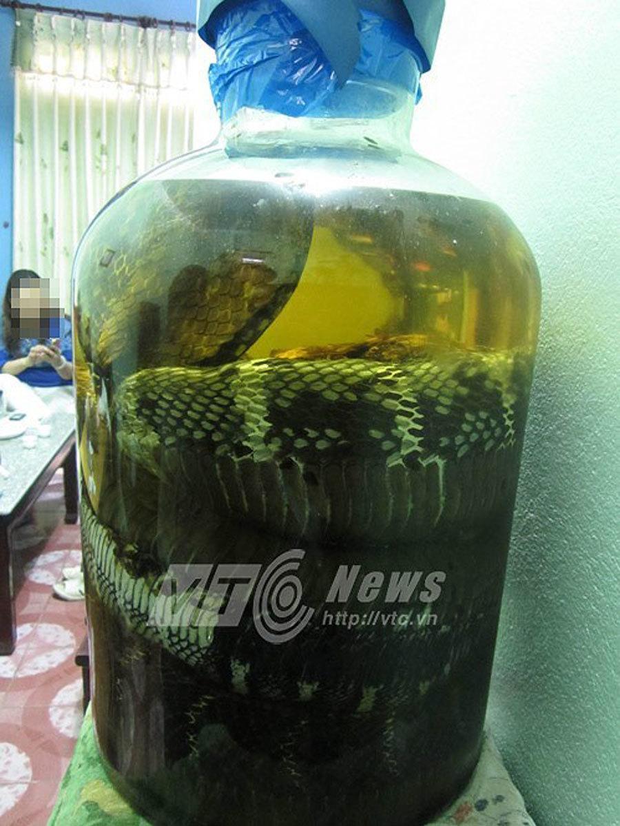 Rắn chúa khổng lồ dài 7m cuộn trong bình rượu của nữ đại gia