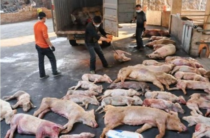 thịt lợn,Trung Quốc,Mỹ,thương chiến,dịch tả lợn châu Phi