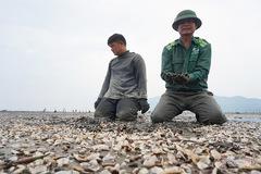 Ngao chết trắng bãi biển, người Hà Tĩnh ngao ngán nhìn hàng chục tỷ bốc hơi