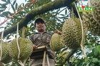 Chuyện lạ Đắk Nông: 36 cây sầu riêng hái 13 tấn quả trị giá nửa tỷ