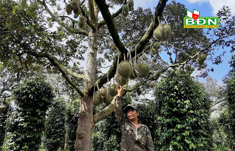sầu riêng,tỷ phú nông dân
