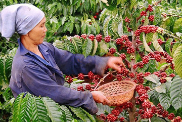 Vietnam cannot earn big money from its coffee exports