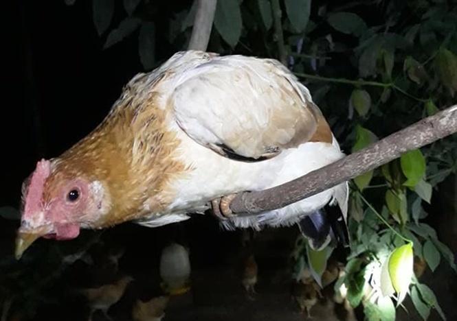 Thú vị loài gà tiến vua: Ngày ăn mối, tối ngủ cây