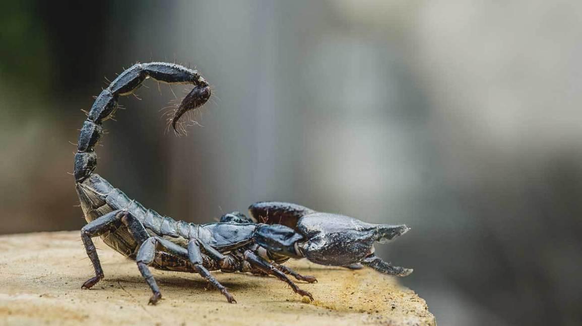 bọ cạp,nọc độc