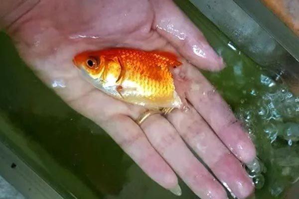 Cá vàng hồi sinh thần kỳ dù thối rữa nửa cơ thể