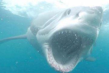 Khoảnh khắc cá mập trắng lớn lao thẳng vào người đi lặn